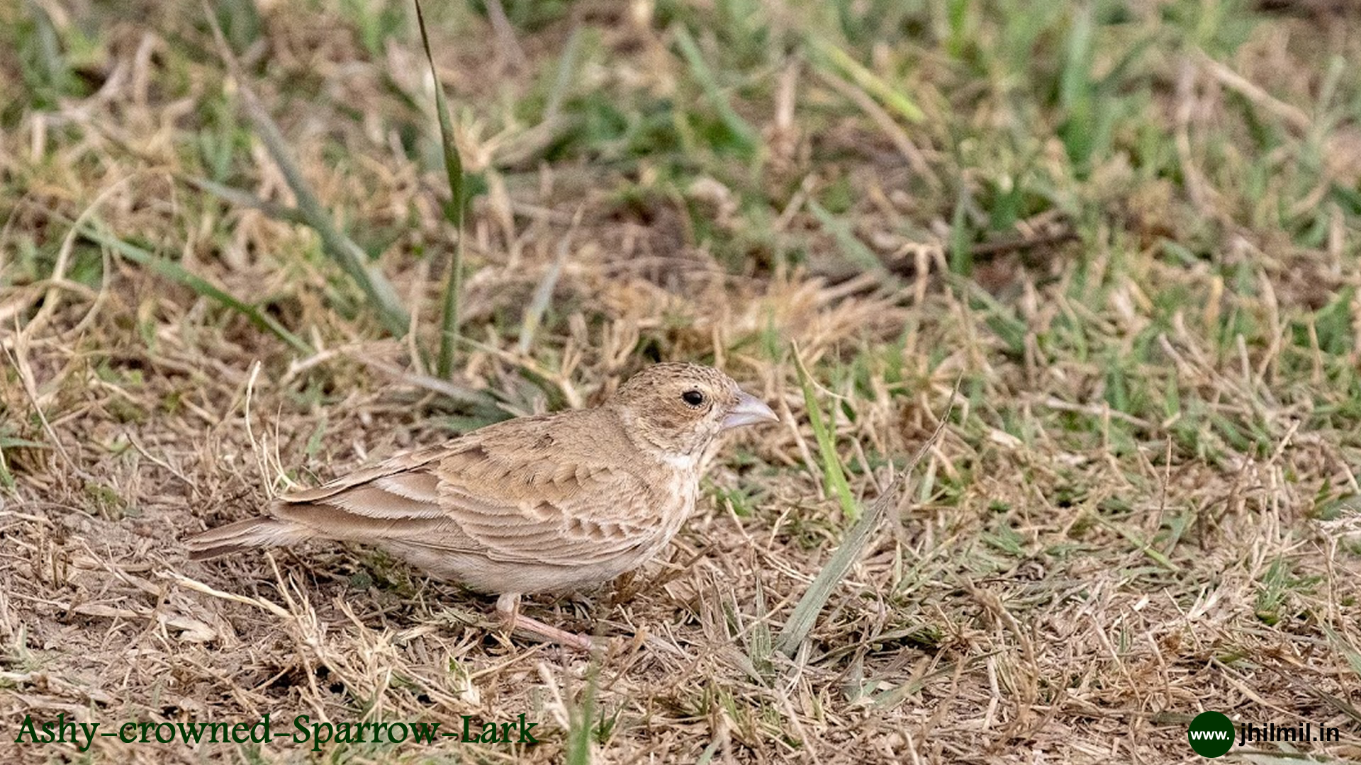 Ashy Crowned Sparrow Lark