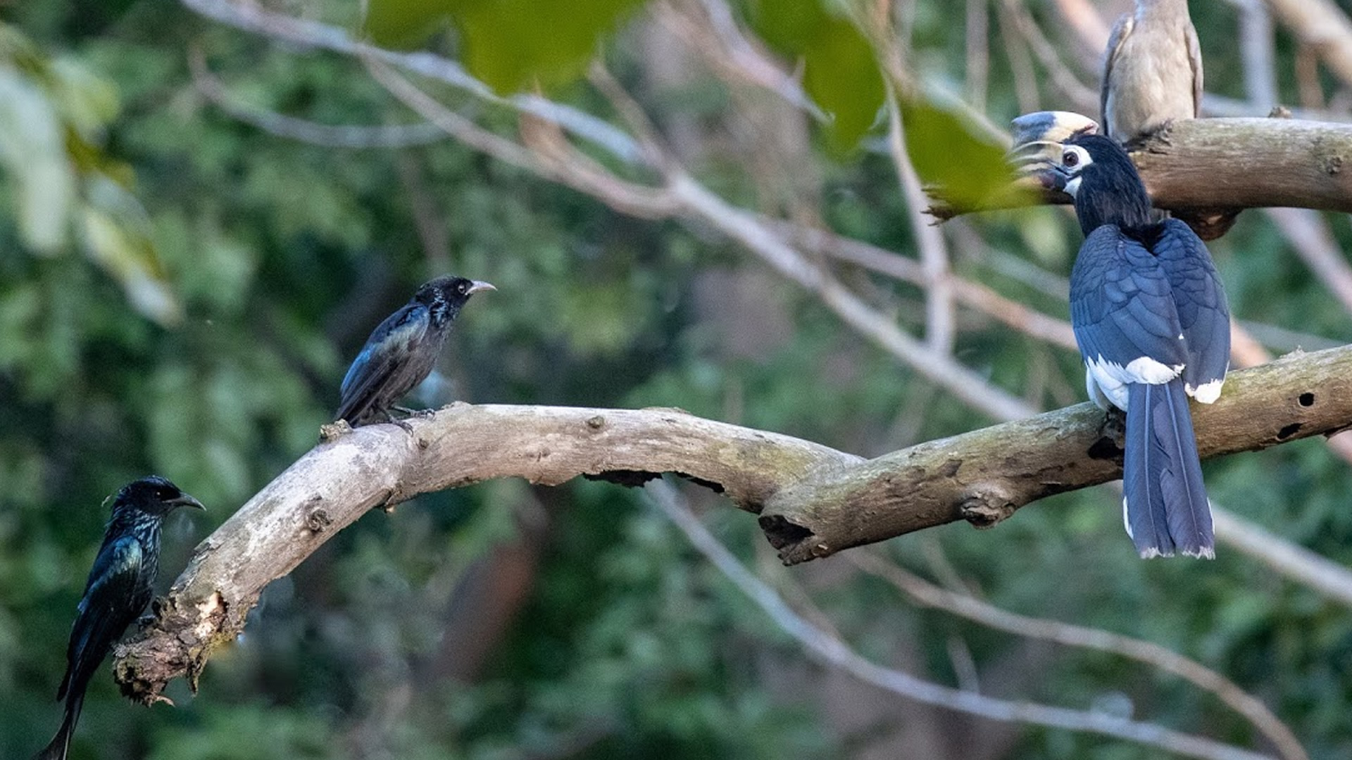 Drongo and Hornbill