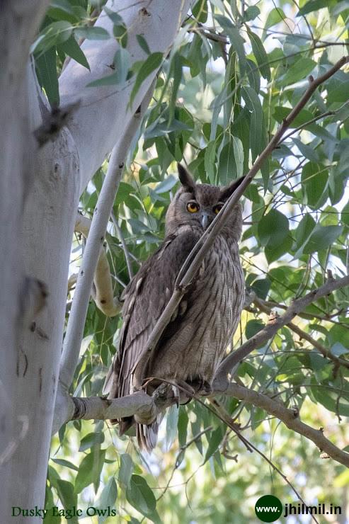 Dusky Eagle Owls