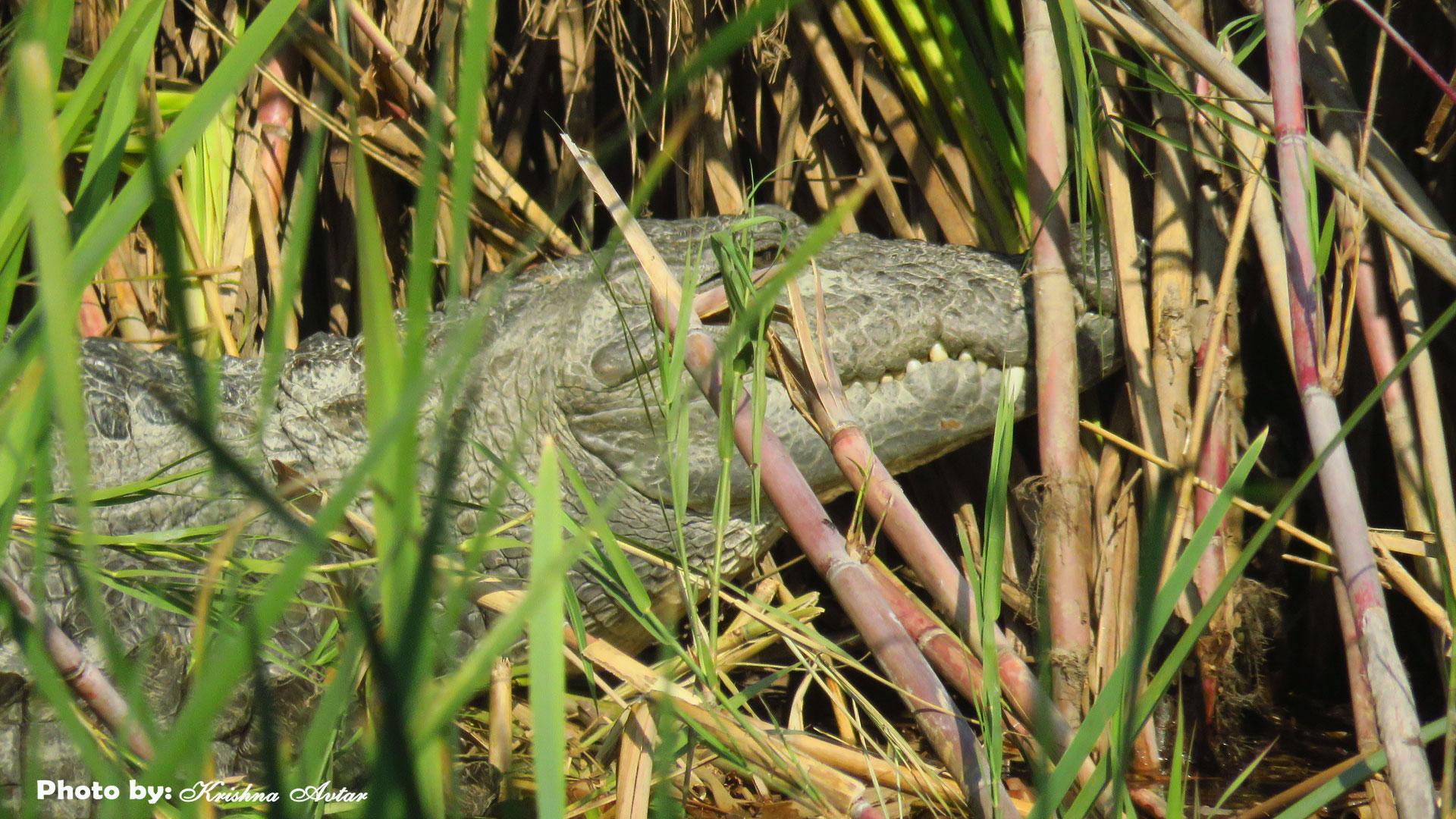 crocodile-at-jhilmil3