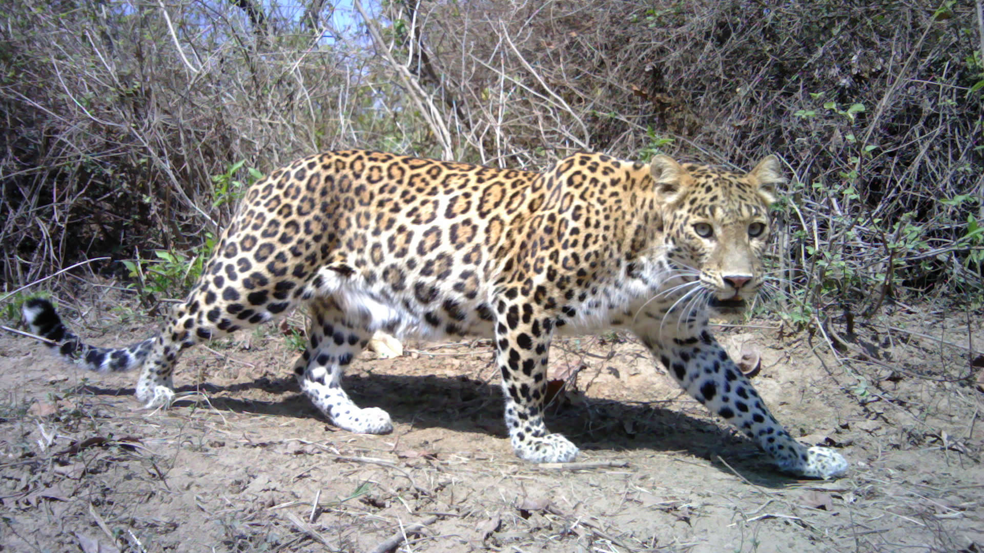 LEOPARD ON TRACK