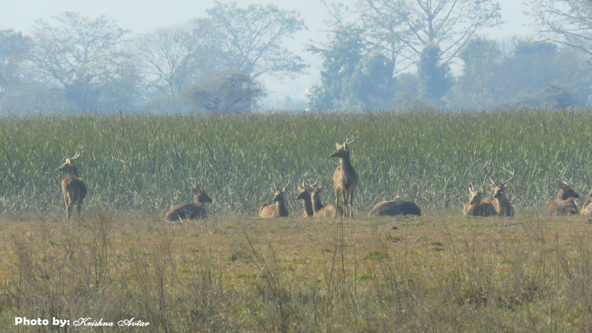 Swamp Deer at Wetland